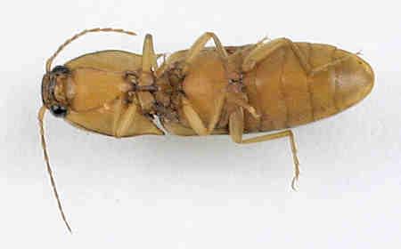 Elateridae -? - Conoderus vespertinus