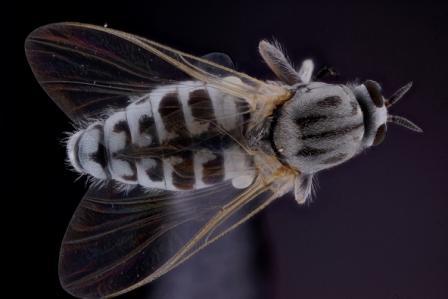 Pesky fly - Simulium - female