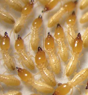 Eastern Subterranean Termite Soldiers - Reticulitermes flavipes