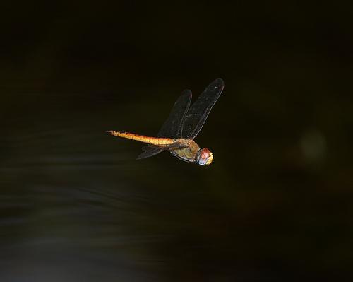 Wandering Glider - Pantala flavescens