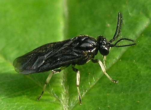 Argid sawfly - Sphacophilus cellularis - male