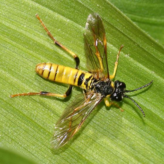 Sawfly - Tenthredo ornaticeps