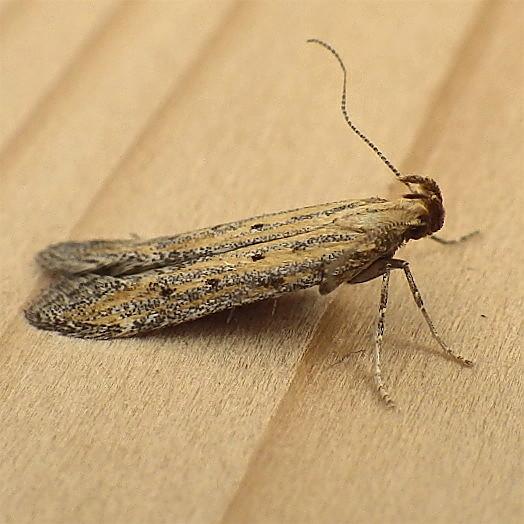 Gelechiidae: Metzneria paucipunctella - Metzneria paucipunctella