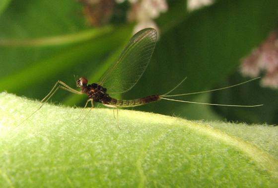 Mayfly - Paraleptophlebia