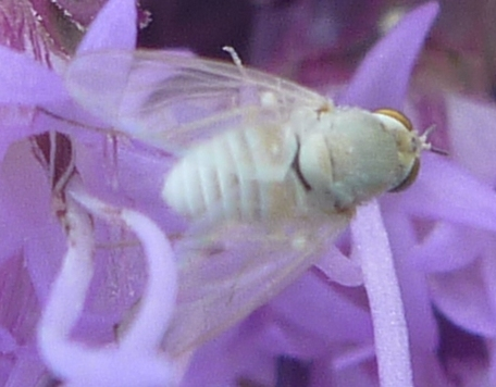 small white fly - Tmemophlebia