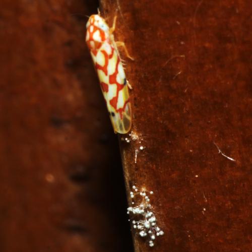 Erythroneura Leafhopper - female