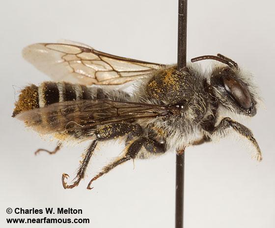 Megachilid - Lithurgopsis - male