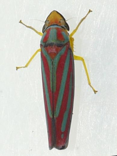 leafhopper - Graphocephala