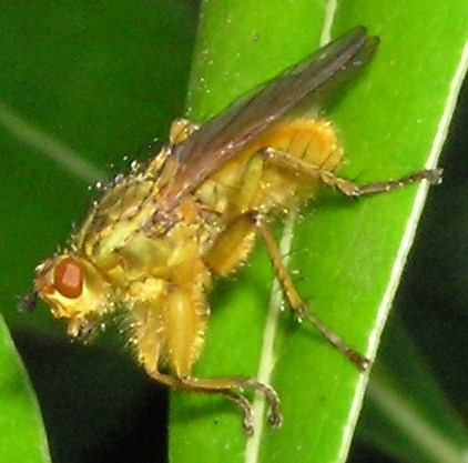 Golden Dung Fly? - Scathophaga stercoraria