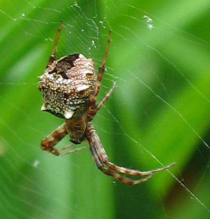 Gea Heptagon, brown spider with horned abdomen - Gea heptagon - female