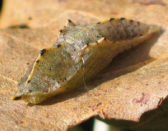 Pieridae chrysalis - Pieris rapae