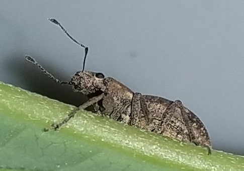 Beetle or perhaps a weevil? - Naupactus cervinus