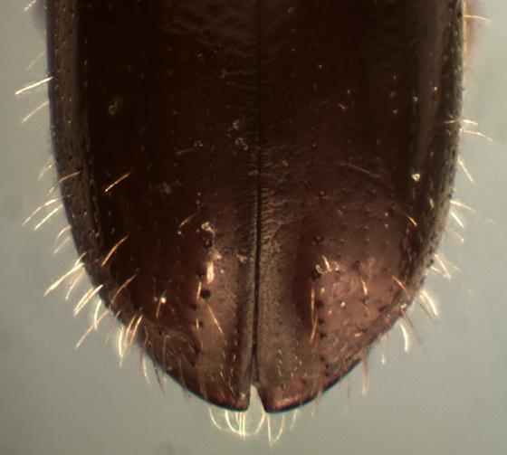 Gnathotrichus denticulatus - male