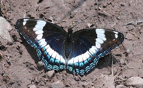 White Admiral - Limenitis arthemis - female