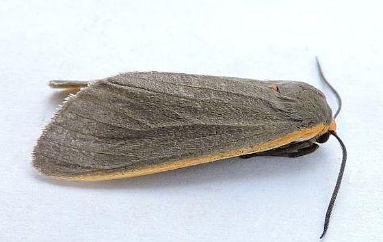 Arizona Moth - Euchaetes antica