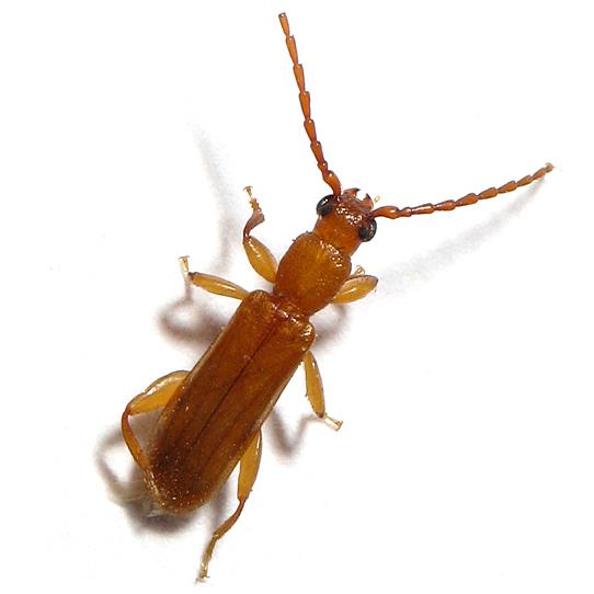 Little Beetle - Smodicum cucujiforme