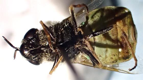 Stratiomyes currani? - Odontomyia