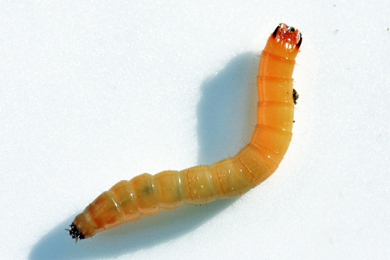 Oestodes tenuicollis larva - Oestodes tenuicollis