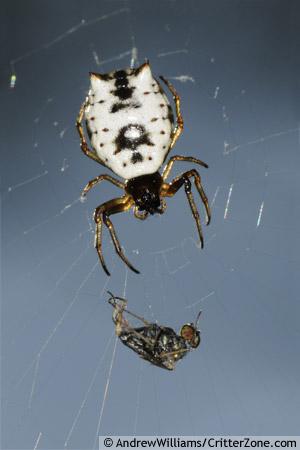 white micrathena orb weaver - Micrathena mitrata - female