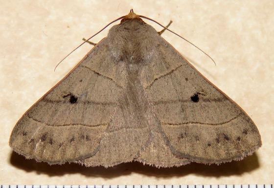 Red-lined Panopoda - Hodges#8587 - Panopoda rufimargo