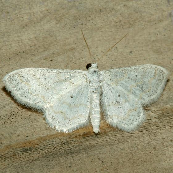 Moth - Lobocleta peralbata