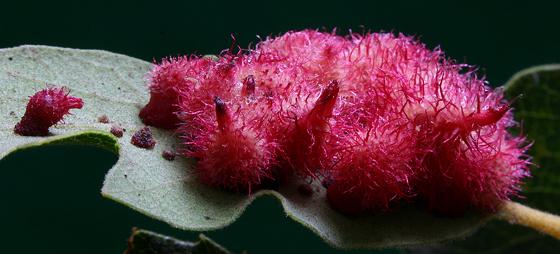 Gall - Cynipid Wasp - Andricus crystallinus - Andricus crystallinus - female
