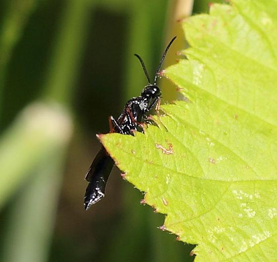 Stem Sawfly - Hartigia cowichana - female