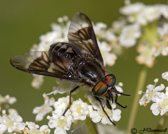 Fly - Chrysops - male