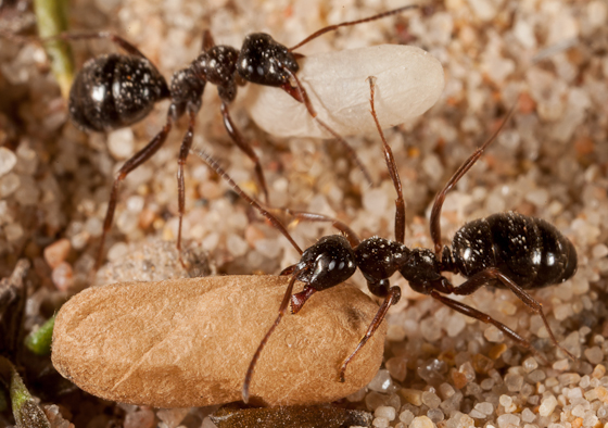 Ant - Formica lasioides