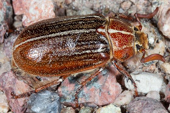Lined June Beetle (Polyphylla sp.) - Polyphylla hammondi