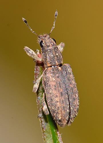 Weevil? - Sitona californius