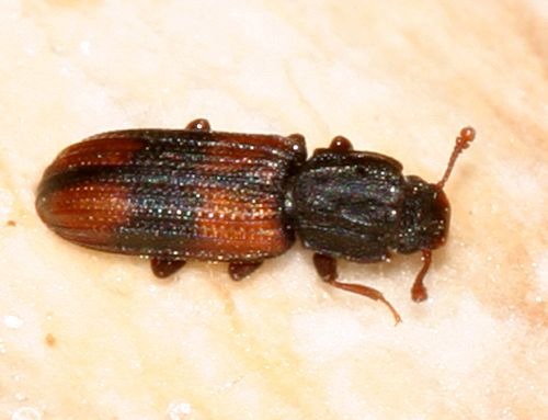 red and black beetle - Bitoma crenata