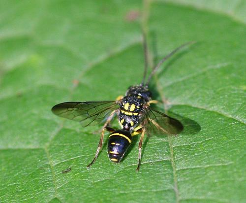 Unidentified Crabronidae...or potter wasp? - Taeniogonalos gundlachii