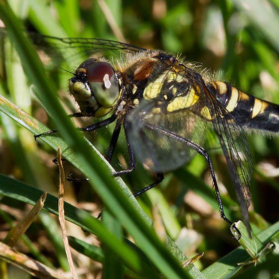 Damselfly or Dragonfly? - Sympetrum danae