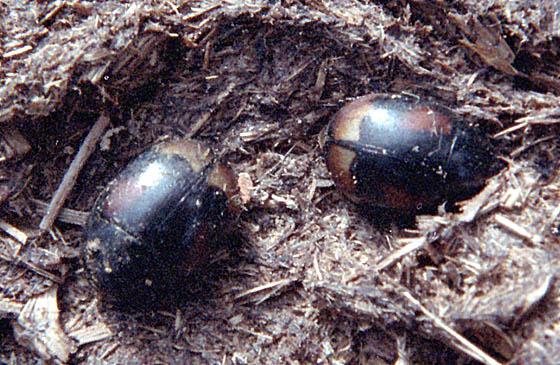 Beetles on Dung - Sphaeridium scarabaeoides