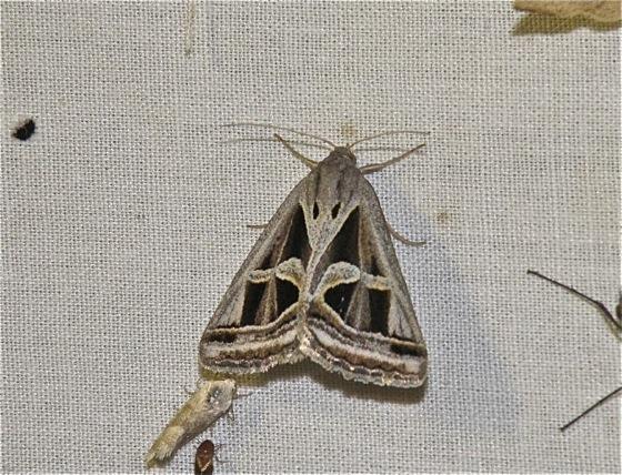 Moth - Callistege intercalaris
