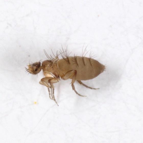 another ant inquiline - Xanionotum - female