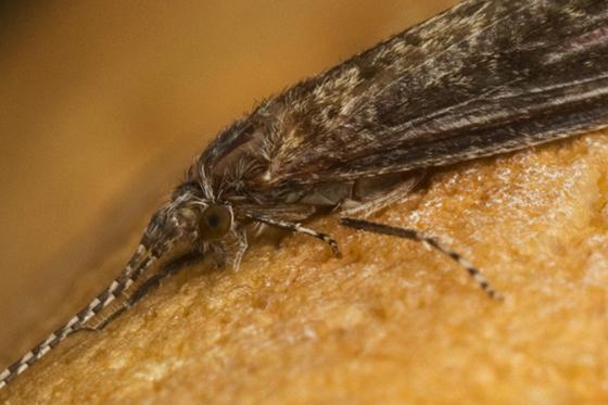 caddisfly? - Ceraclea