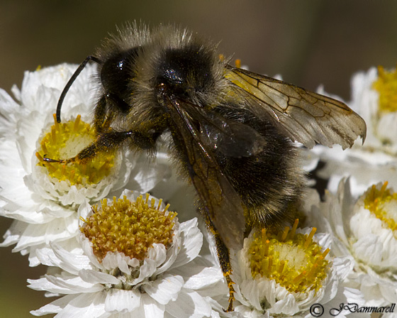 Long-haired Bee - Bombus