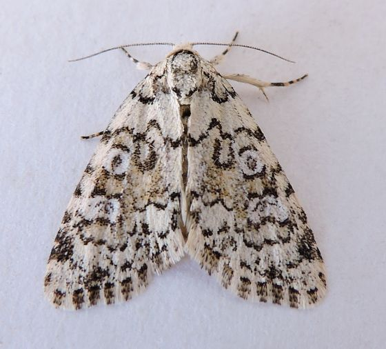 Arizona Moth - Cryphia pallidioides