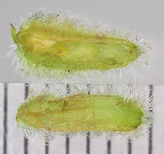 Rhopalomyia anthophila, Solidago flower gall with 2 larvae - Rhopalomyia anthophila