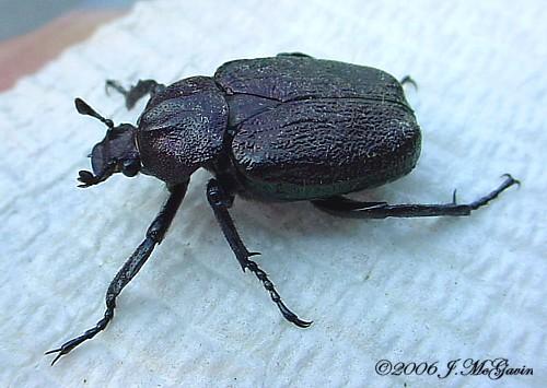 Big Beetle 1 - Osmoderma scabra