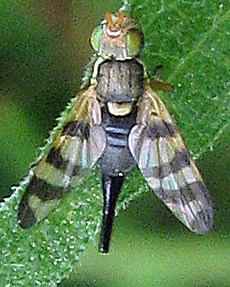 Four-barred Knapweed Gall Fly - NS - Urophora - female