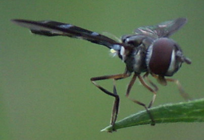 Longlegged Fly? - Ocyptamus fuscipennis