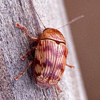 Leaf beetle - Cryptocephalus implacidus