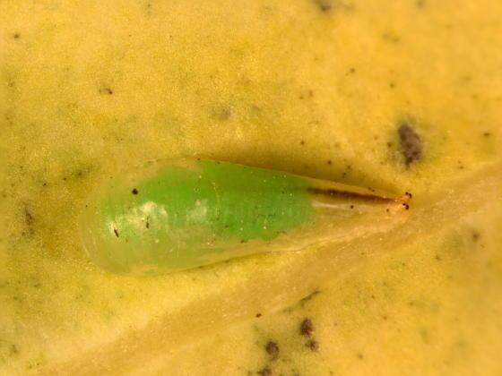 Syrphidae, pupa - Toxomerus geminatus