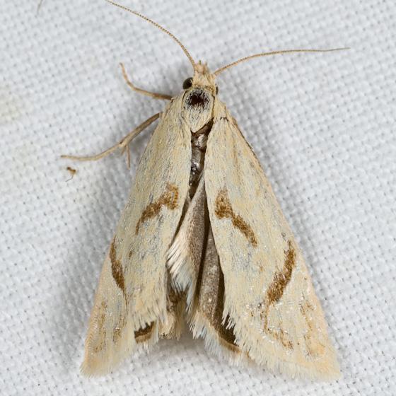 Eucosma biplagiata - Pelochrista biplagata