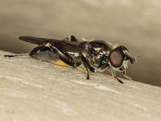 Unknown Fly - Chalcosyrphus nemorum