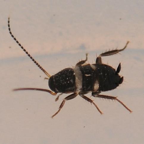 Roach - Periplaneta fuliginosa