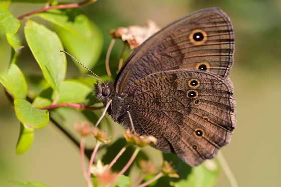 Butterfly - Cercyonis pegala - male